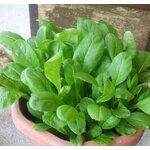 Arugula อารูกูล่า : Rocket salad / 1100 เมล็ด