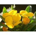 Wallflower : Deep Yellow (วอล ฟลาวเวอร์) / 50 เมล็ด