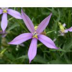 Laurentia : Purple (ลอเรนเทีย สีม่วง) / 5 เมล็ด (เมล็ดเคลือบ)