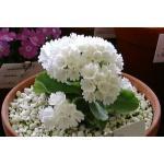 Fairy primrose : White (แฟรี่ พรีมโรส สีขาว) / 30 เมล็ด