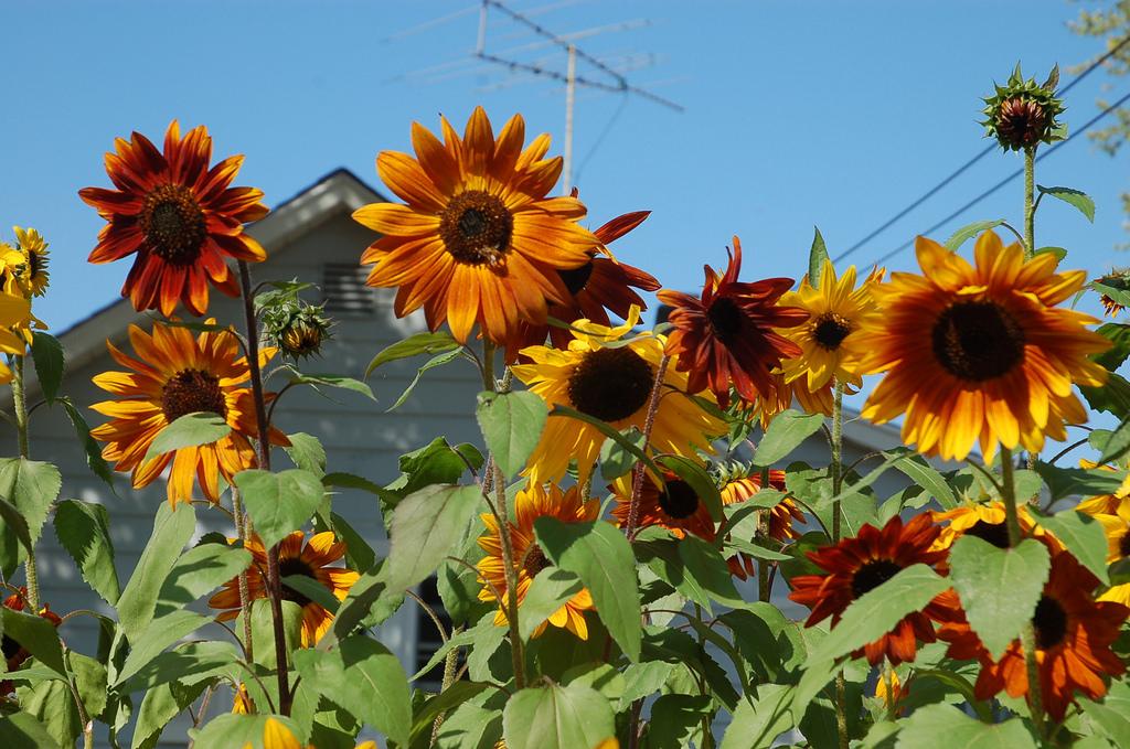 Sunflower ทานตะวัน