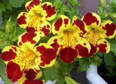 Mimulus (Tiger Monkey Flower) มิมูลัส