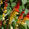 Mina lobata (Spanish flag) / 5 เมล็ด