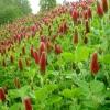 แพคใหญ่ (คริมสัน โคลเวอร์) Crimson Clover Bundle x 10 แพค