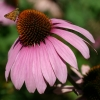 Echinacea อิชินาเซีย
