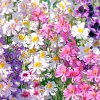 Schizanthus : Mix (ชิซานตัส คละสี) / 50 เมล็ด