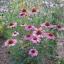 Echinacea อิชินาเซีย thumbnail 5
