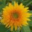 Sunflower ทานตะวัน thumbnail 7