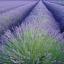Lavender ลาเวนเดอร์ thumbnail 5