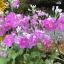 Fairy primrose แฟรี่ พรีมโรส thumbnail 8