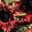 Sunflower ทานตะวัน thumbnail 8