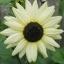 Sunflower ทานตะวัน thumbnail 3
