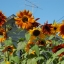 Sunflower ทานตะวัน thumbnail 1