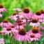 Echinacea อิชินาเซีย thumbnail 3