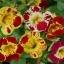 Mimulus (Tiger Monkey Flower) มิมูลัส thumbnail 3