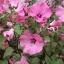 Rose mallow โรสมาลโล thumbnail 7