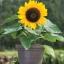 Sunflower ทานตะวัน thumbnail 4