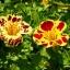 Mimulus (Tiger Monkey Flower) มิมูลัส thumbnail 4