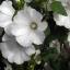Rose mallow โรสมาลโล thumbnail 3