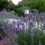 Lavender ลาเวนเดอร์ thumbnail 3