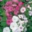 Rose mallow โรสมาลโล thumbnail 8