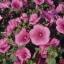 Rose mallow โรสมาลโล thumbnail 2