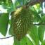 ใบทุเรียนเทศแห้ง สำหรับต้มเป็นชา 100 กรัม (Air Dried Soursop Leaves 100 Grams ) thumbnail 2