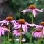 Echinacea อิชินาเซีย thumbnail 4