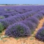 Lavender ลาเวนเดอร์ thumbnail 4