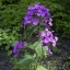 Lunaria ลูนาเรีย thumbnail 4