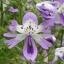 Schizanthus ชิซานตัส thumbnail 1
