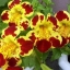 Mimulus (Tiger Monkey Flower)