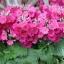 Fairy primrose แฟรี่ พรีมโรส thumbnail 1