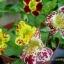 Mimulus (Tiger Monkey Flower) มิมูลัส thumbnail 2