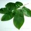 ใบทุเรียนเทศแห้ง สำหรับต้มเป็นชา 100 กรัม (Air Dried Soursop Leaves 100 Grams ) thumbnail 3