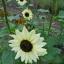 Sunflower ทานตะวัน thumbnail 11