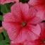 Petunia พิทูเนีย thumbnail 1