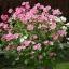 Rose mallow โรสมาลโล thumbnail 6