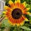 Sunflower ทานตะวัน thumbnail 2