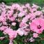 Rose mallow โรสมาลโล thumbnail 5