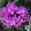 Fairy primrose แฟรี่ พรีมโรส thumbnail 7