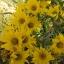 Sunflower ทานตะวัน thumbnail 9