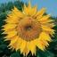 Sunflower ทานตะวัน thumbnail 6