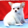 "CHIHUAHUA@LOVE THAT LOVE IS U ""SOULMATE"" น้องโซลเมท"